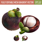Mangosteen on white background. Vector illustration