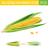 Corn on white background. Vector illustration