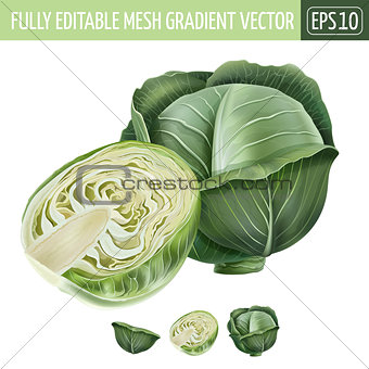 Cabbage on white background. Vector illustration