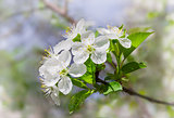 Flowering branche of cherry on a blurred background