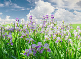 Flowering irises against the sky with clouds