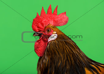 Cose-up of a Bassette rooster against green background