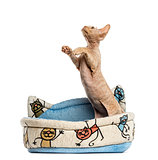 Devon rex in a pet basket isolated on white