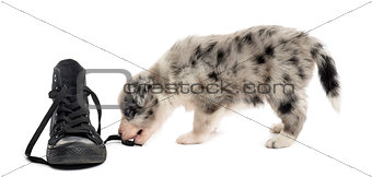 Crossbreed puppy playing with a shoe isolated on white