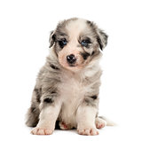 Front view of a crossbreed puppy sitting isolated on white