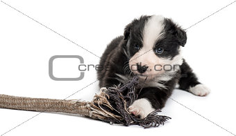 Crossbreed puppy playing with a rope isolated on white