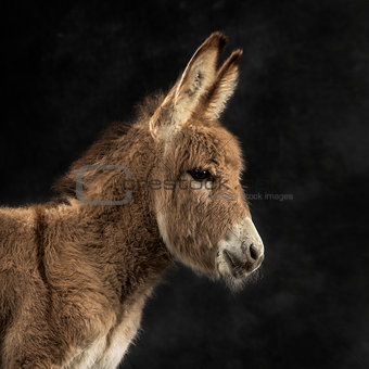Close up of a provence donkey foal against black background