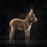 Side view of a provence donkey foal against black background