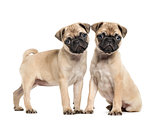 Two Pug puppies, 3 months old, isolated on white