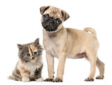 Pug puppy  and European Shorthair kitten, isolated on white