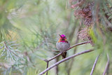 Anna's Hummingbird (Calypte anna), Adult, Male, Santa Cruz, California, USA.