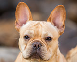 Young French Bulldog Headshot