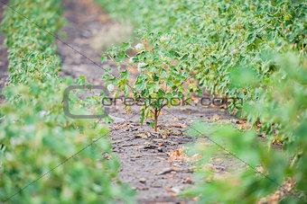 Cotton field in Oakey