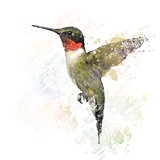 Ruby Throated Hummingbird Watercolor