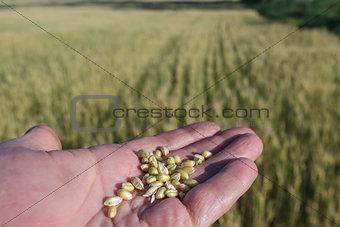Agronomist is holding grain