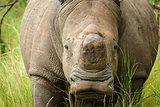 Front view of white rhino without horn in Uganda