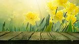 Daffodil spring background