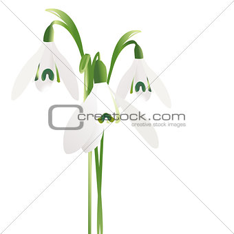 Three snowdrop flowers isolated on white background