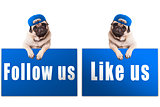 cute pug puppy dog with blue follow us and like us sign and wearing blue cap, islolated on white background