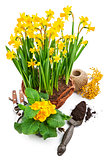 Bunch spring blossom yellow narcissus in wicker