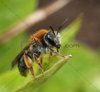 Small bee on green leaf macro
