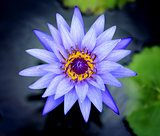 Photos purple water lilies