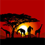 Silhouettes of giraffes on African sunset - savanna