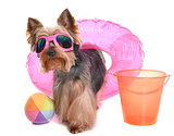 yorkshire terrier in holidays