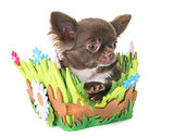 puppy chihuahua in studio
