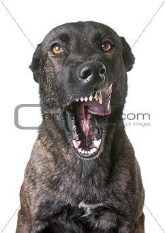 aggressive dutch shepherd in studio