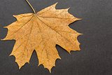 one leaf maple closeup on a dark background