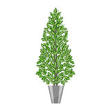 Benjamin ficus. Deciduous plant in flowerpot. House plant realistic icon for interior decoration . Coniferous plant in flowerpot. vector illustration