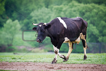 Black-flecked breed cow on a green meadow in the early morning