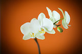 branch beautiful white orchid