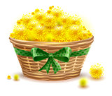 Yellow mimosa flowers full wicker basket