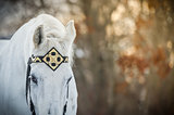 white trotter horse in medieval front bridle-strap outdoor horizontal close up portrait in winter in sunset