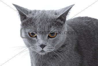 Gray striped kitten on a white background