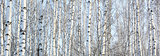 The trunks of birch trees with white bark