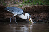 Cocoi heron catching fish in muddy shallows