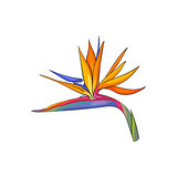 Single bird of paradise, strelizia tropical flower, sketch vector illustration