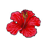 Single bright red hibiscus tropical flower, sketch vector illustration