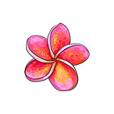 Single pink plumeria, frangipani tropical flower, sketch vector illustration