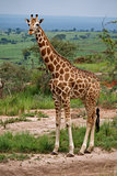 Single giraffe in Murchison Park, Uganda