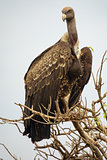 Vulture standing tall on a tree