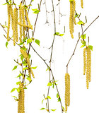 Spring twigs of birch with young leaves and catkins
