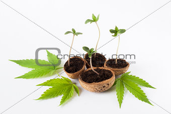 Cannabis growing plant cannabis green green leaf