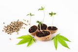 baby cannabis plant vegetative stage of marijuana growing organic hemps seeds