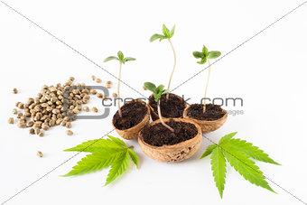 baby cannabis plant vegetative stage of marijuana growing organic hemps seeds