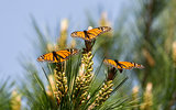 Monarch Butterflies Perched on Monterey Cypress Tree
