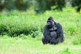 gorilla sits quietly on the grass